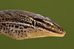 головной песок профиля papuan монитора Стоковые Фото