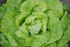 головной салат Стоковая Фотография