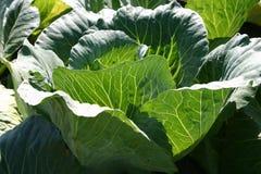 головной салат Стоковые Фото