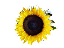 головной солнцецвет стоковая фотография rf