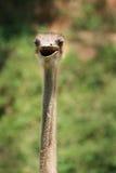 головной страус шеи Стоковое фото RF