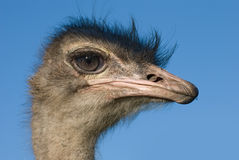 головной страус Стоковая Фотография