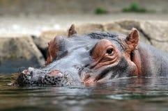 головной hippopotamus Стоковые Изображения
