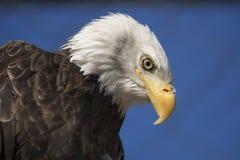 Головы белоголового орлана сняли стоковые изображения rf