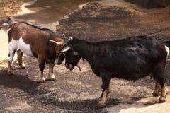 Головы Брайна и черной козы бодая стоковые фото