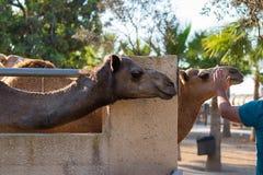 Головы верблюдов в парке верблюда, Ларнаке, Кипре стоковые фото