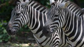 Головы зебры закрывают вверх пока ослабляющ в зоопарке Зебра нашивок возглавляет близко вверх по съемке акции видеоматериалы