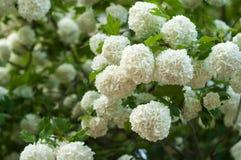 Головы цветка калины снежного кома китайца снежны Чувствительные пещеры белых цветков на ветвях Стоковая Фотография