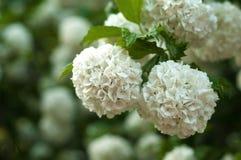Головы цветка калины снежного кома китайца снежны Чувствительные пещеры белых цветков на ветвях Стоковые Фотографии RF