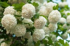 Головы цветка калины снежного кома китайца снежны Чувствительные пещеры белых цветков на ветвях Стоковые Фото