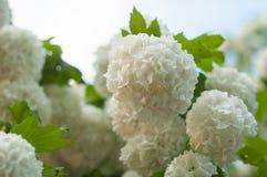 Головы цветка калины снежного кома китайца снежны Чувствительные пещеры белых цветков на ветвях Стоковое Изображение RF