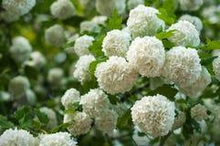 Головы цветка калины снежного кома китайца снежны Чувствительные пещеры белых цветков на ветвях Стоковая Фотография RF
