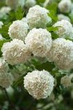 Головы цветка калины снежного кома китайца снежны Чувствительные пещеры белых цветков на ветвях Стоковое фото RF