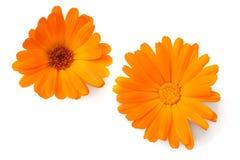 2 головы цветка ноготк изолированной на белой предпосылке цветка дня calendula поднимающее вверх близкого солнечное Взгляд сверху стоковая фотография