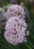 Головы цветка фиолетового лука Стоковые Изображения RF