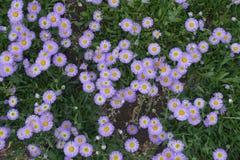 Головы цветка speciosus Erigeron Стоковые Изображения