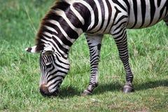 голодная зебра Стоковые Фото