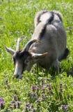 Голодная коза жуя свой обед стоковое фото rf