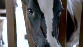 Голодная корова в конюшне на ферме сток-видео