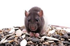голодная крыса Стоковое Изображение RF