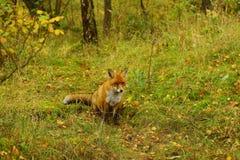 Голодная самостоятельно лиса на траве стоковая фотография rf
