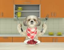 Голодная собака shitzu сидя на таблице в кухне и идя съесть мясо Стоковая Фотография RF