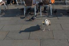 Голодная чайка есть обломоки в аркаде Сан Marco в Венеции Стоковое Изображение