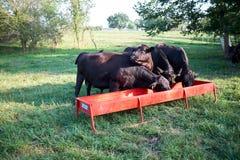 Голодные коровы говядины подавая от ринва металла Стоковые Изображения RF