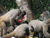 Голодные обезьяны стоковое фото