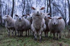 Голодные овцы в поле Стоковое Изображение