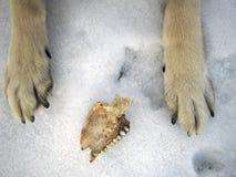Голодный волк в зиме Стоковые Изображения