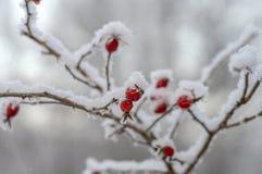 Гололедь покрыла ветвь дикой розы с красными ягодами, красоты в природе стоковые изображения