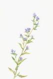 голубая акварель картины цветка Стоковые Фото
