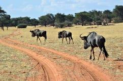 Голубая антилопа антилопы гну, Намибия Стоковое Фото