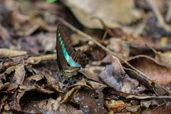 Голубая бабочка бутылки - sarpedon Graphium puddling в лесе Sinharaja Rin стоковые фото