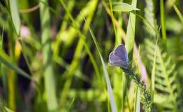 Голубая бабочка сидит в стержнях зеленой травы Стоковые Изображения