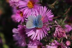 Голубая бабочка сидит на цветке и собирает нектар Стоковое Изображение RF