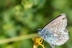 Голубая бабочка сидя на желтом цветке Стоковые Изображения RF