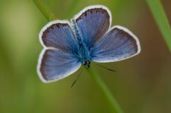 голубая бабочка Стоковое Изображение