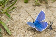 голубая бабочка стоковые изображения