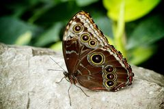 Голубая бабочка Morpho Стоковое Фото