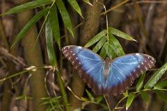 Голубая бабочка Morpho (peleides Morpho) Стоковое Изображение