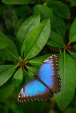 Голубая бабочка, peleides Morpho, сидя на зеленых листьях Большая бабочка в вегетации леса темной ой-зелен Троповая природа в Sal Стоковые Фото