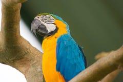 Голубая, белая и желтая ара стоковое фото rf