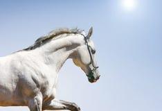 голубая белизна лошади Стоковое Изображение RF