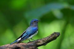 голубая белизна flycatcher cyanoptila cyanomelana Стоковые Изображения