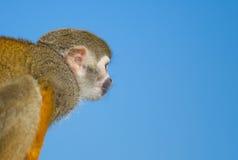 голубая белка неба обезьяны ветви Стоковое Изображение