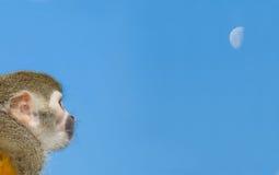 голубая белка неба обезьяны ветви Стоковая Фотография