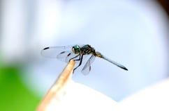 голубая бирюза dragonfly Стоковая Фотография