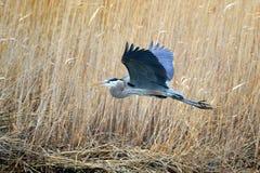 голубая большая цапля Стоковые Фото